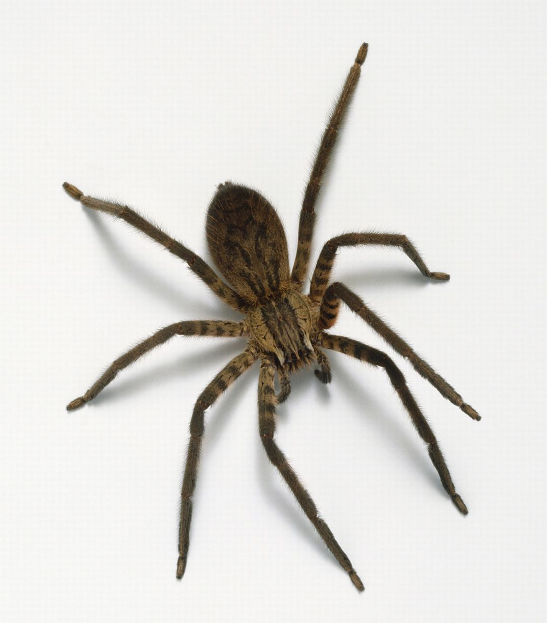 House-spider-above-view