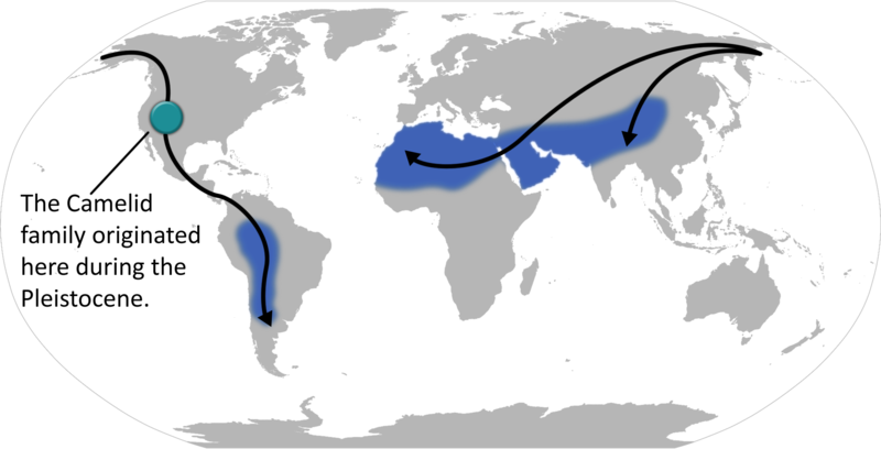 800px-Camelid locations and migration