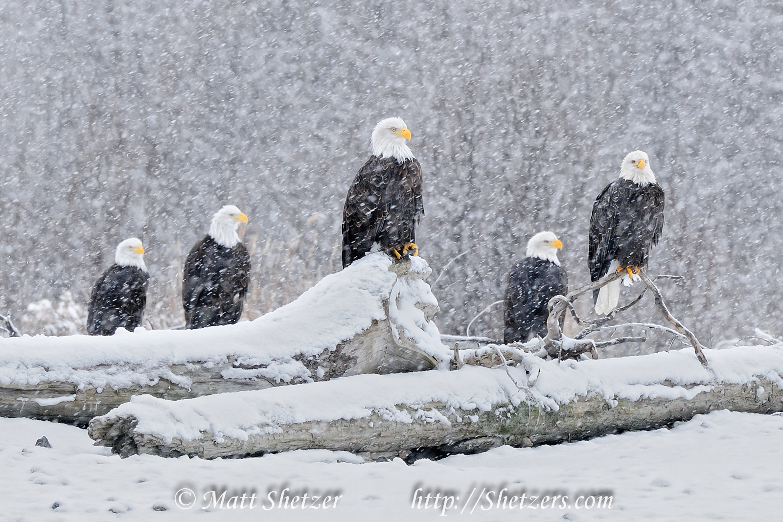 Eagles-in-the-Snow-2