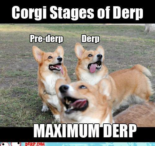 hurr-durr-derp-face-teh-corgi-stages-of-
