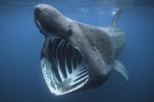 Tiefseehai