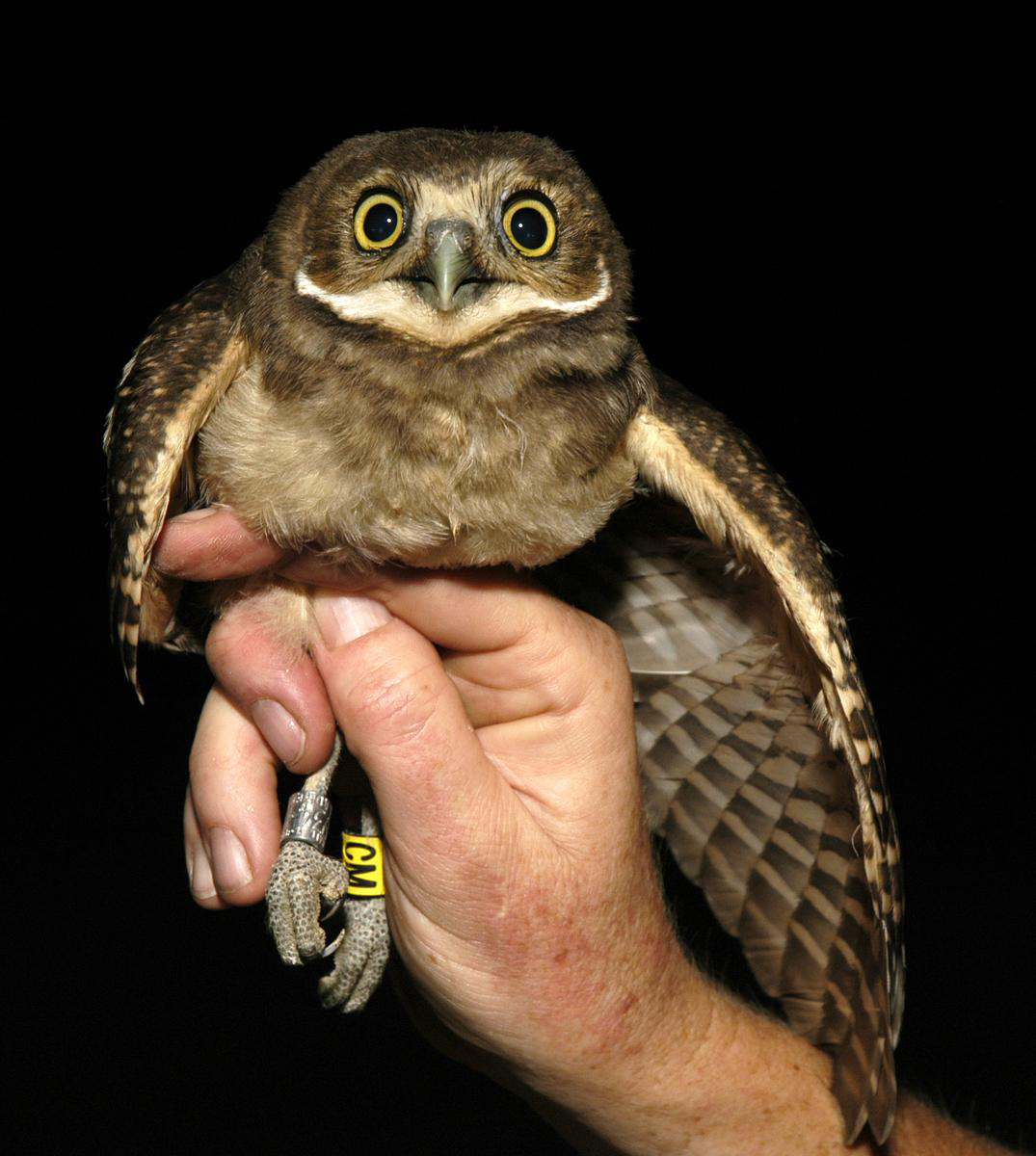 burrowing owl 1338495701