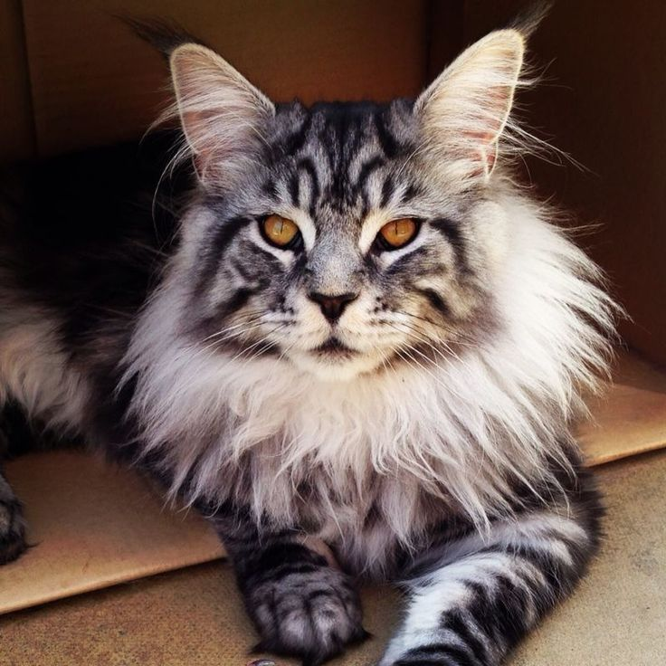 632578-maine-coon-cat