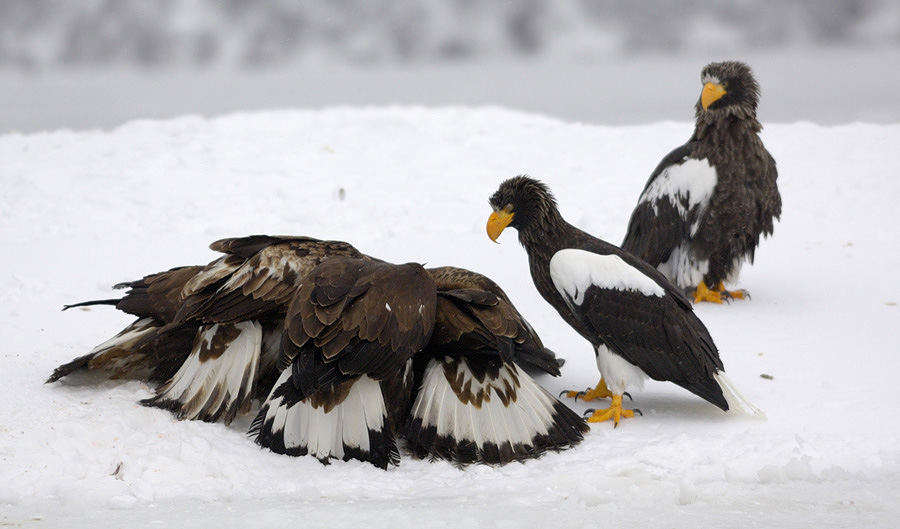 GoldenEagle with Stellers Sea Eagles.jpe