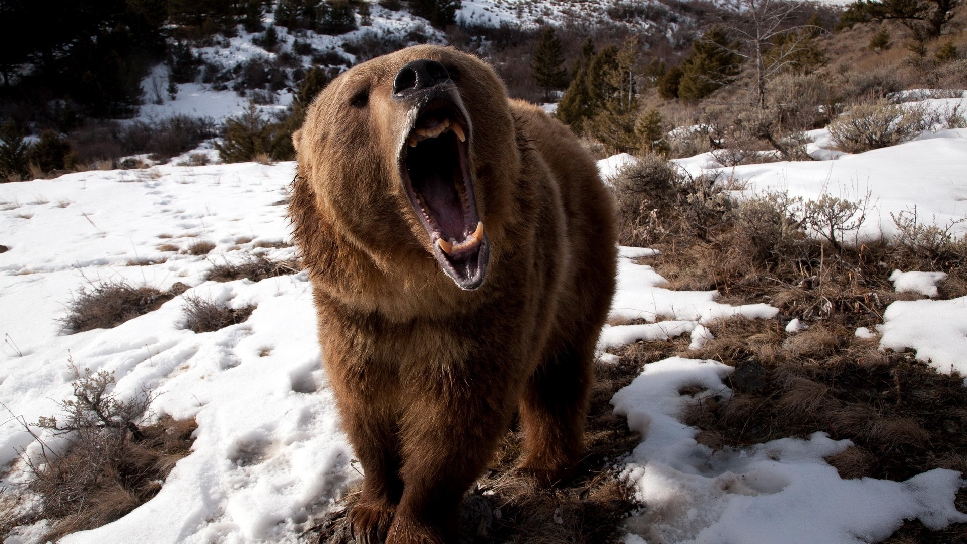 Pin Black Bear Teeth Wolf Cougar Grizzly Mountain on Pinterest