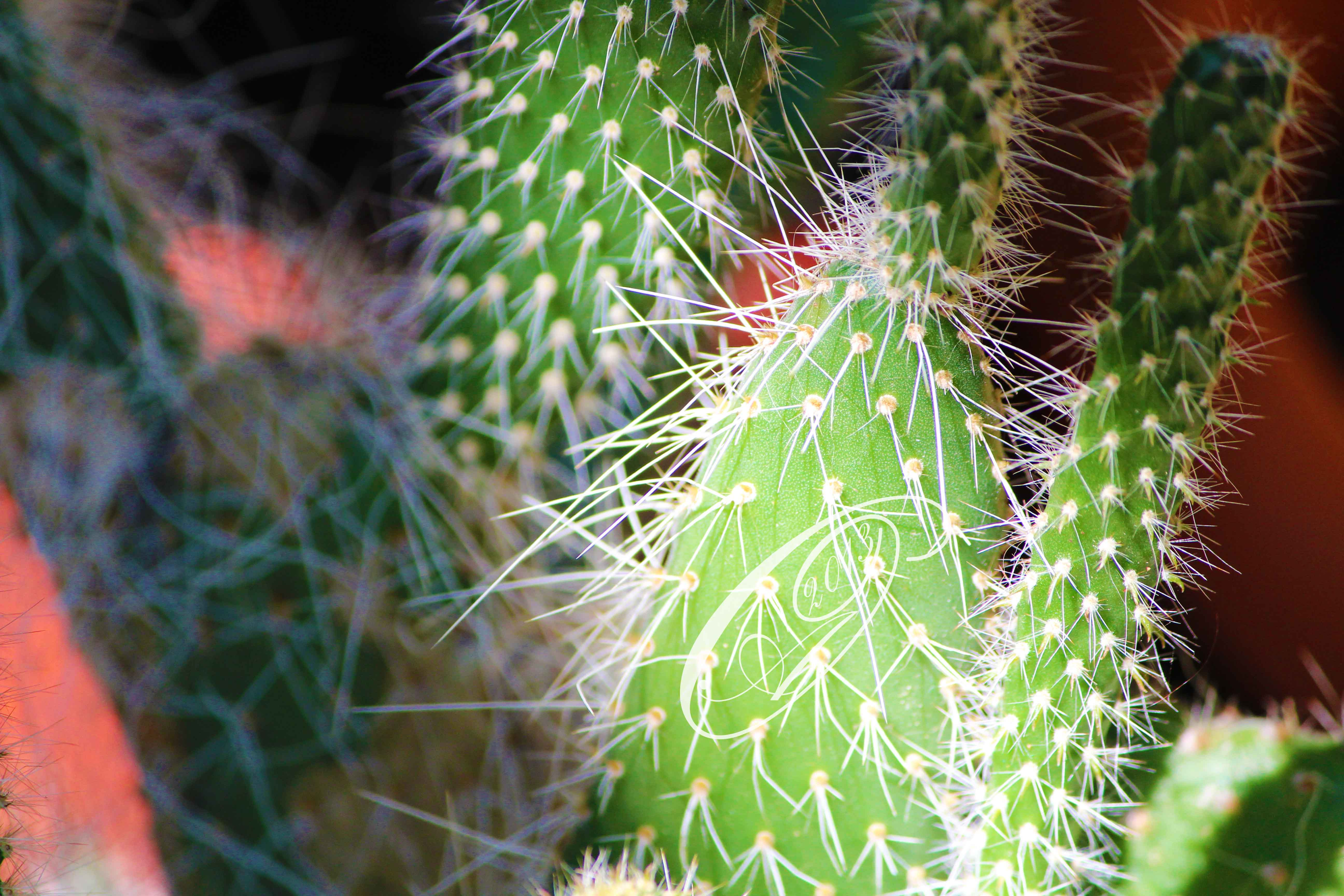cactus by giglolo-d6hegnz