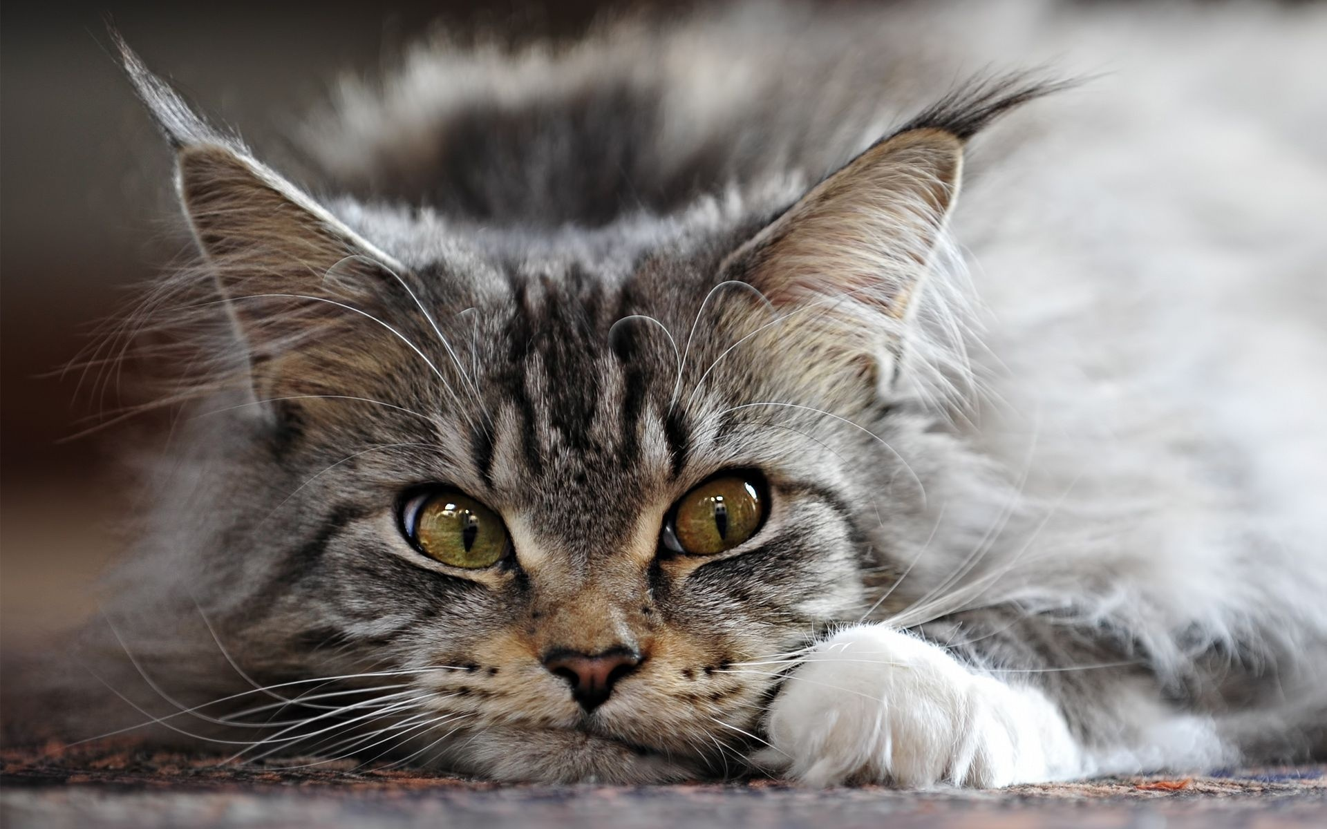 maine-coon-cat2