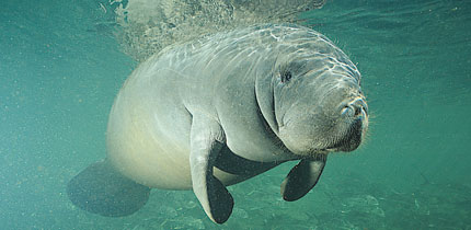 t9wh3PD Manatees 060101 g 1