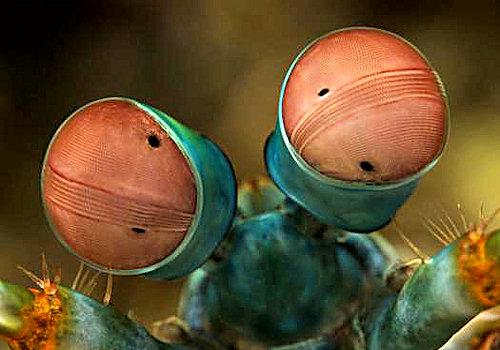 Fangschreckenkrebs Augen