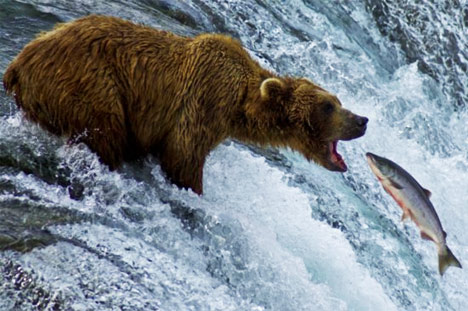 tDY9Var grizzly-bear-eating-salmon-photo01