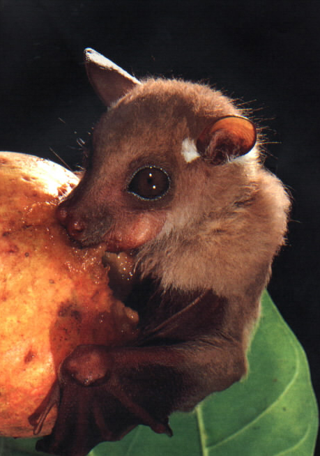 tFnJVnz fruit-bat-eating-fruit