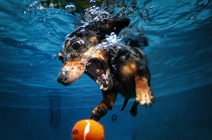 tMLIvE7 A-diving-dachshund-pursue-018