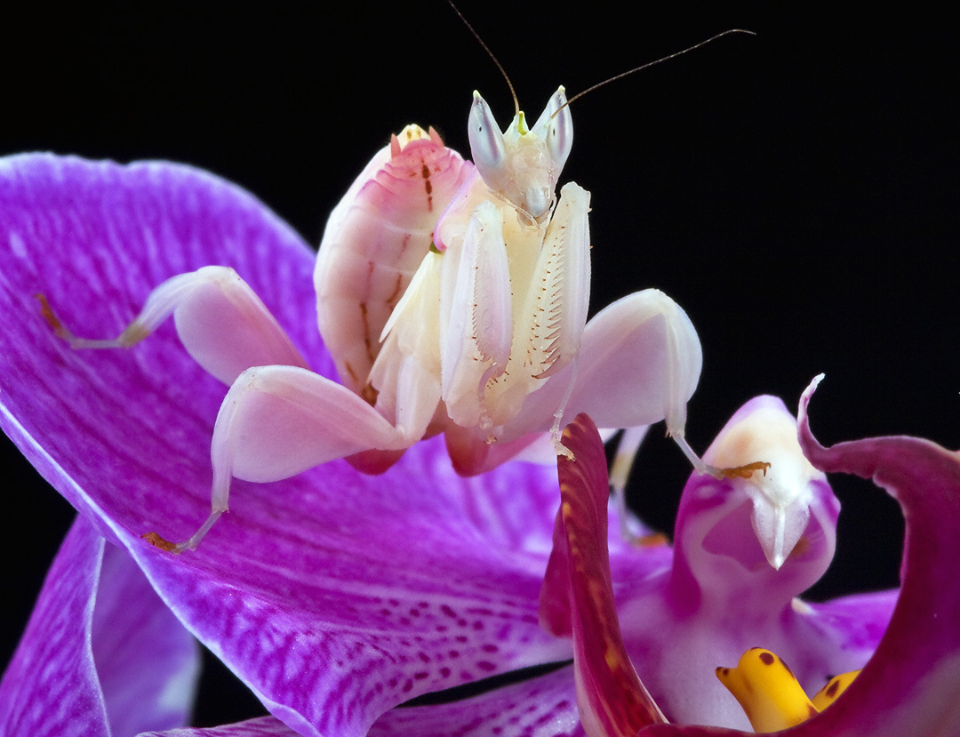 tNS9dpQ Orchid-Mantis-praying-mantises-6623546-1