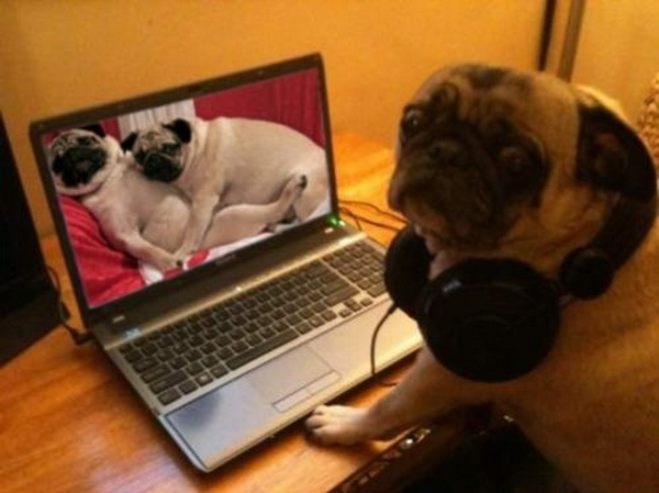 tOdQ2DL Pug-caught-watching-pug-porn