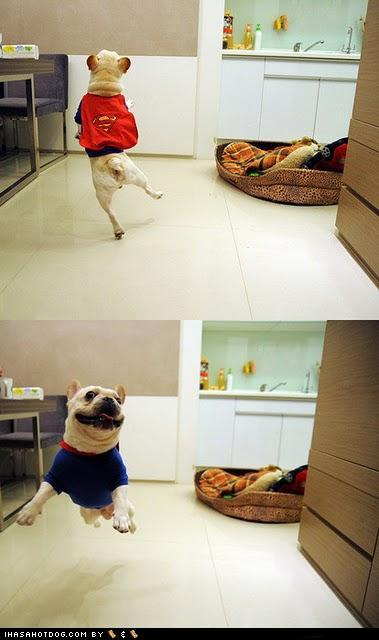 tXjgkVZ funny-dog-pictures-super-frenchie