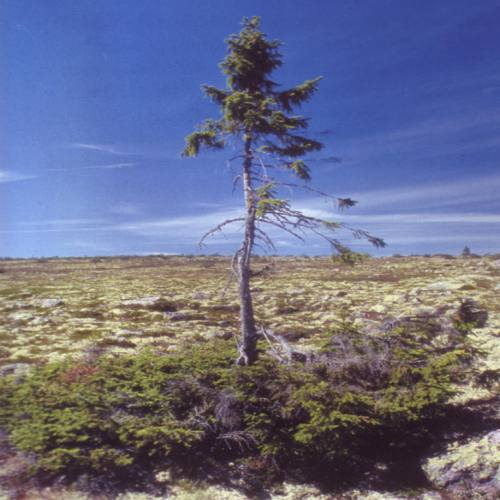 bearbeitet sweden oldest tree