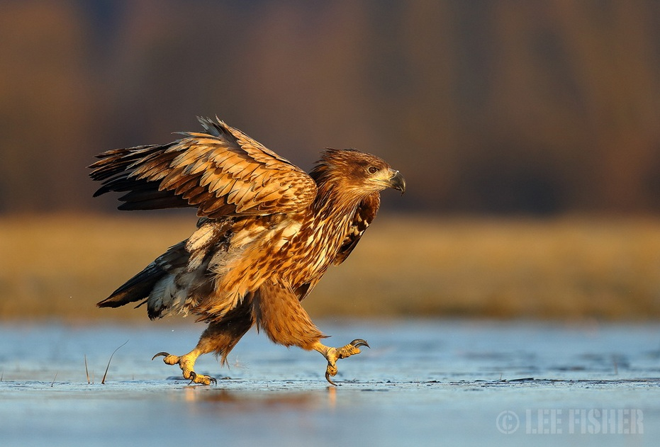 a-white-tailed-eagle-taking-a-stroll-acr