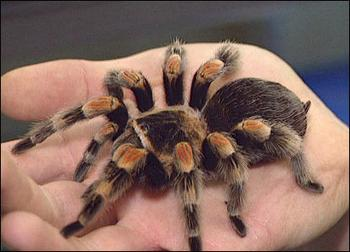 524571804 tarantula answer 2 xlarge.jpeg