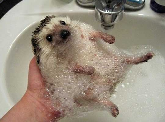 bubbles-cute-hedgehog-Favim.com-331023