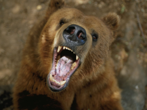 joel-sartore-a-trained-kodiak-bear-with-