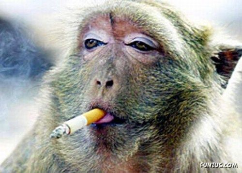 monkeys with cigarettes 02