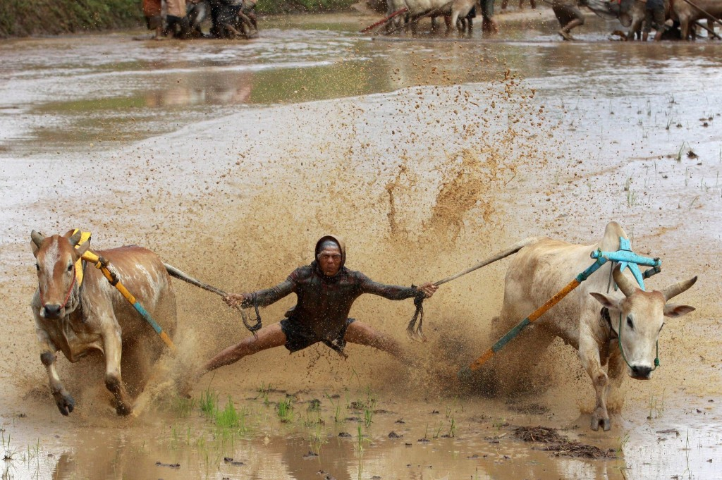 Sumatran-Cow-Race-Action-Shot-3-1024x681