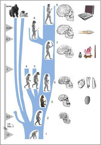 Stammbaum Des Menschen Und Affen