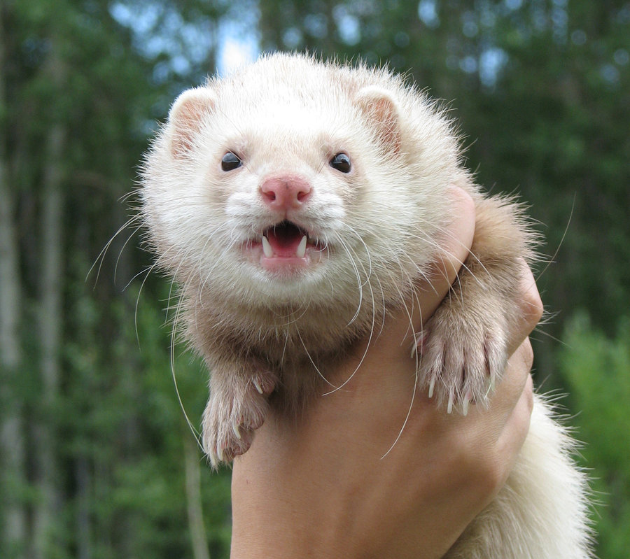 t6298ec cute ferret is cute d by silentf