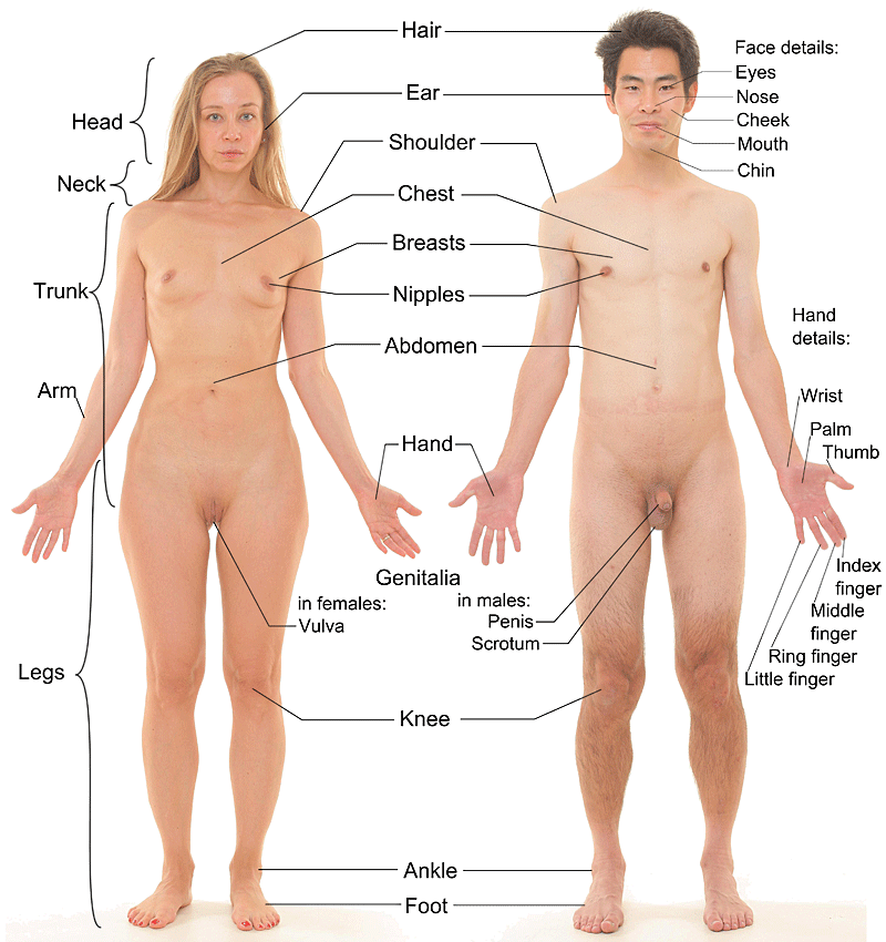 Anterior view of human female and male w