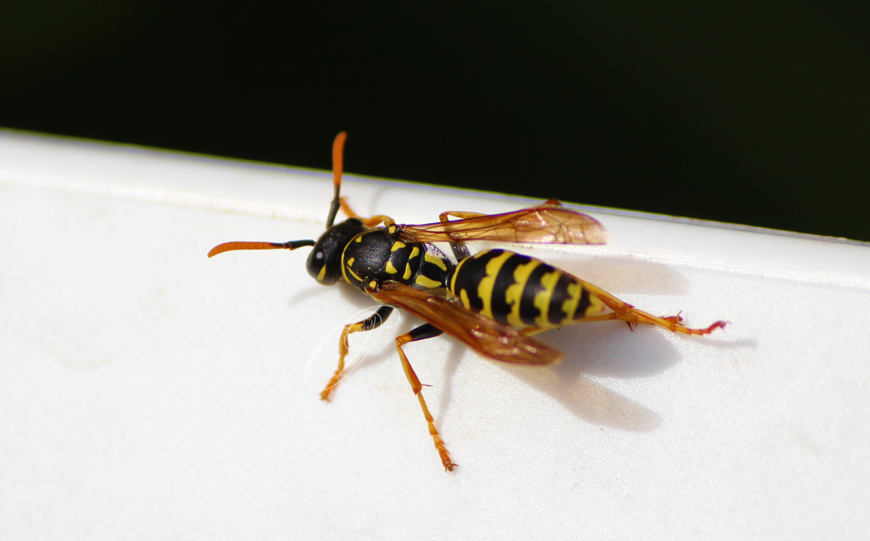 wasp by giglolo-d6i6esx