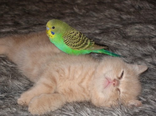 cute-bird-on-kitten-6