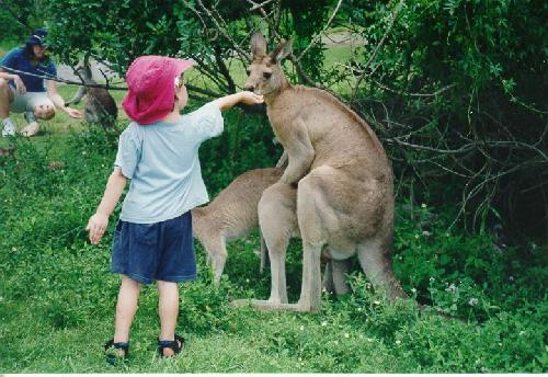 kangaroo sex kid feed
