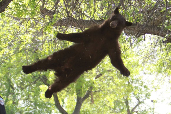 Tranquilized-Bear