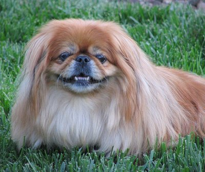 PekingeseSissiePrincess11YearsOld1