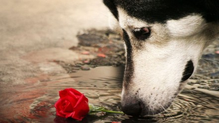 water red animals dogs sad husky roses m