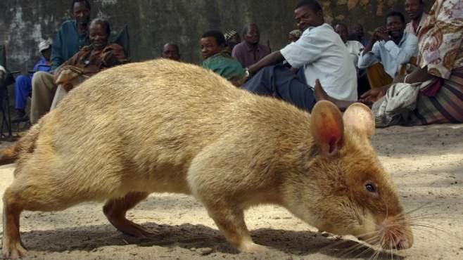 mutierte ratten in teheran seite 3 allmystery