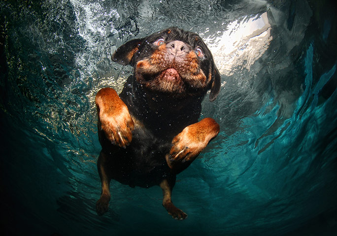 tnhhYcy A-rottweiler-swims-around-026