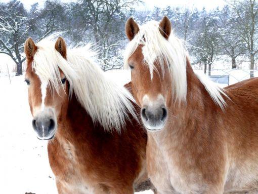 welche fellfarbe bei pferden m gt ihr am liebsten seite 7 allmystery. Black Bedroom Furniture Sets. Home Design Ideas