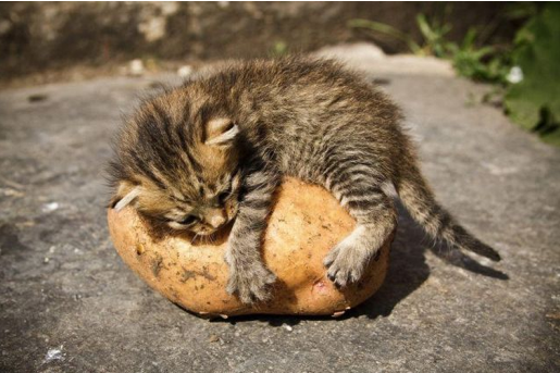 tnu6tnI kitten-potato