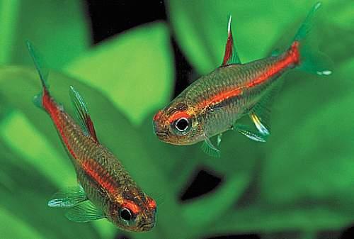 Welche salmler fische sind die sch nsten allmystery for Welche fische passen zu kois