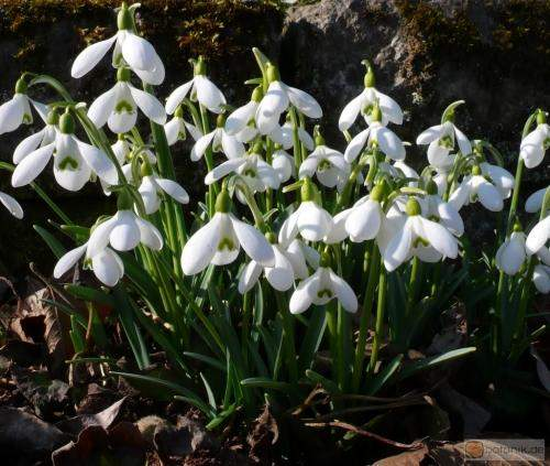 /dateien/mg49597,1236805411,Galanthus nivalis.preview
