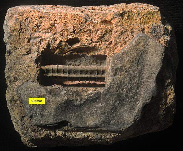crinoid-internal-mold-1