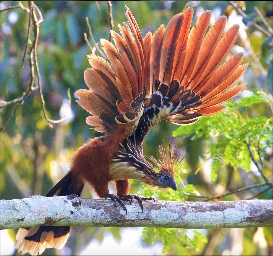 The Hoatzin or  reptile bird  is the on