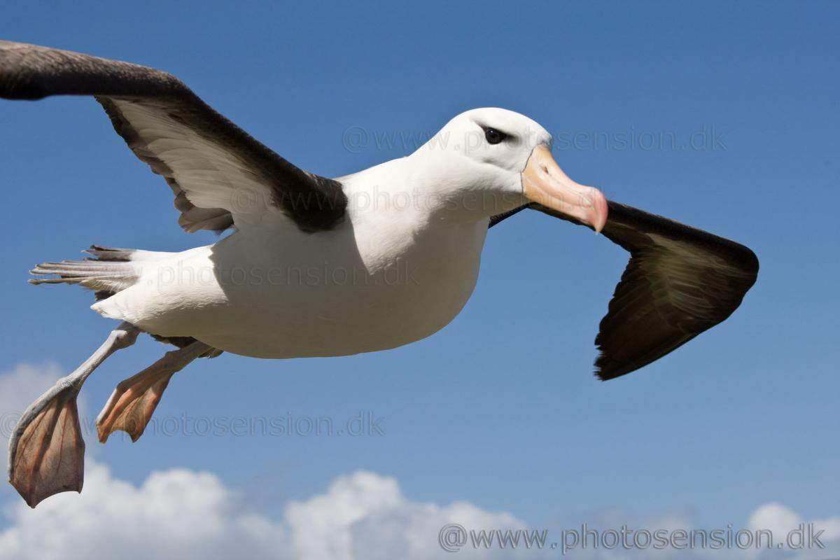 flying-black-browed-albatross-close-up-2