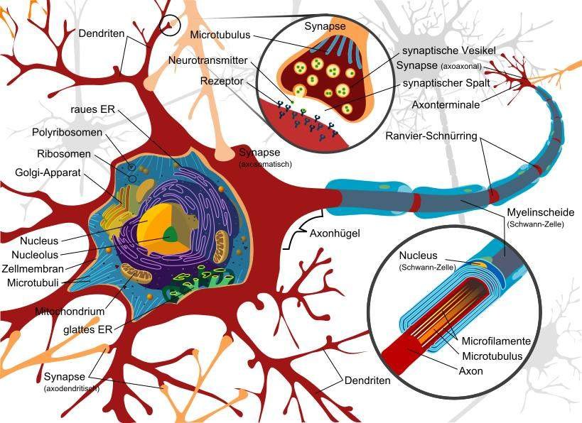 Complete neuron cell diagram de