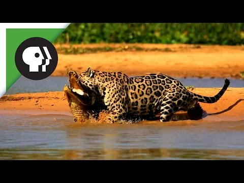 Youtube: Jaguar Attacks Caiman Crocodile