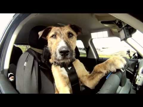 Youtube: Meet Porter. The World's First Driving Dog.