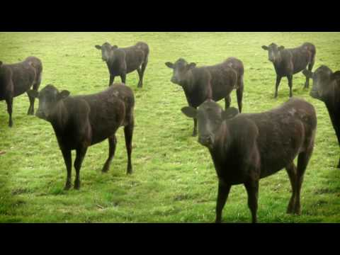 Youtube: cows & cows & cows