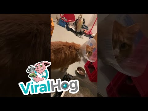 Youtube: Cat Shaved for Surgery || ViralHog