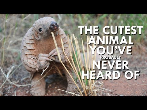 Youtube: Pangolins are the Cutest Animals You've Never Heard Of